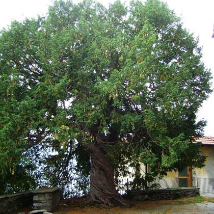 Approvata la legge sugli alberi monumentali, i comuni devono fare il