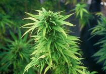cannabis_1_main_2