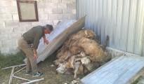 pecore uccise dai lupi isernia