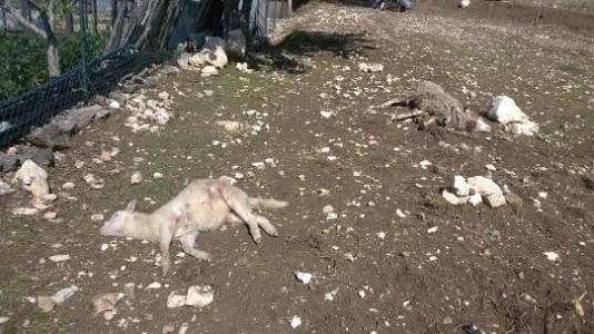 pecore sgozzate